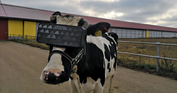 Cows on Russian Farm Get Fitted with VR Goggles to Increase Milk Production
